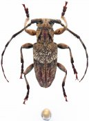 Haploeax rohdei, ♂, Ancylonotini, Cameroon