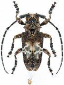 Idactus ellioti verdieri, ♀, Ancylonotini, Gabon