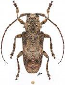 Idactus rusticus, ♀, Ancylonotini, Central Africa R.