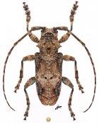 Idactus rusticus, ♂, Ancylonotini, Central Africa R.