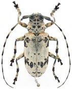 Lasiopezus sordidus sordidus, ♀, Ancylonotini, Ivory Coast