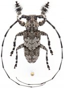 Lasiopezus brunoi, ♂, Ancylonotini, Eswatini