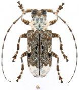 Lasiopezus longimanus, ♀, Ancylonotini, Eswatini
