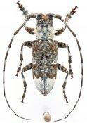 Lasiopezus longimanus, ♂, Ancylonotini, Kenya