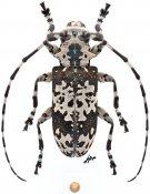 Lasiopezus nigromaculatus, ♀, Ancylonotini, Kenya