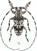 Lasiopezus nigromaculatus, ♂, Ancylonotini, Eswatini