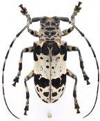 Lasiopezus sordidus josephus, ♀, Ancylonotini, Gabon
