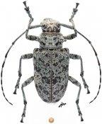 Ancylonotini • Latisternum macropus • ♀