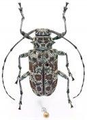 Latisternum macropus, ♀, Ancylonotini, Ivory Coast