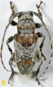 Oeax marshalli, ♀, Ancylonotini, Togo