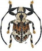 Onychocerus albitarsis, ♂, Anisocerini, Paraná