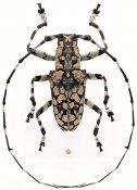Palimna annulata annulata, ♂, Ancylonotini, Thailand