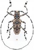 Palimna annulata tessellata, ♂, Ancylonotini, Borneo