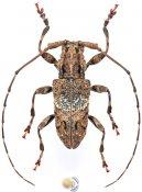 Paroeax nasicornis, ♂, Ancylonotini, Gabon