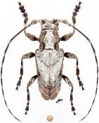 Paroeax schoutedeni, ♂, Ancylonotini, Cameroon