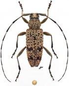 Parorsidis nigrosparsa nigrosparsa, ♀, Ancylonotini, Thailand