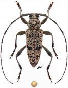 Parorsidis nigrosparsa nigrosparsa, ♂, Ancylonotini, Thailand