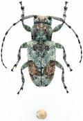 Phloeus brevis, ♀, Ancylonotini, Gabon