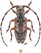 Prosidactus bartolozii, ♀, Ancylonotini, Zimbabwe