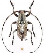 Pseudopezus binigromaculatus, ♂, Ancylonotini, Cameroon