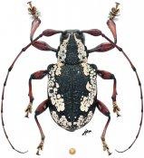 Satipoella heilipoides, ♂, Anisocerini, Peru