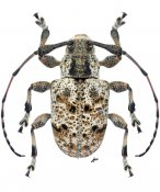 Thryallis leucophaeus, ♂, Anisocerini, Nicaragua
