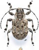 Thryallis undatus, ♀, Anisocerini, Oaxaca