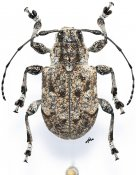 Thryallis undatus, ♀, Anisocerini, Mexico