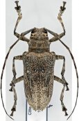 Ancylonotus tribulus tribulus, ♀, Ancylonotini, Ivory Coast