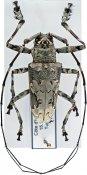 Ancylonotus tribulus tribulus, ♂, Ancylonotini, Ivory Coast
