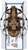 Caciomorpha palliata ♀, Anisocerini, Panama