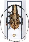 Caciomorpha plagiata, ♂, Anisocerini, Peru