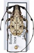 Caciomorpha robusta, ♂, Anisocerini, Bolivia