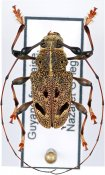 Chalastinus recticornis, ♂, Anisocerini, French Guiana
