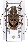 Chalastinus recticornis, ♀, Anisocerini, French Guiana