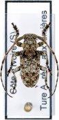 Cnemolia leonensis ♂, Ancylonotini, Ivory Coast