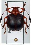 Cyclopeplus ♀, Anisocerini, Peru