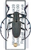 Hoplistocerus prominulosus, ♂, Anisocerini, French Guiana