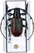 Hoplistocerus refulgens, ♂, Anisocerini, Paraguay