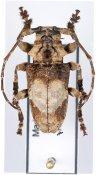 Idactus ellioti ellioti ♂, Ancylonotini, Madagascar