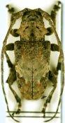 Idactus ellioti ellioti, ♂, Ancylonotini, Grande Comore