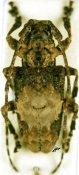 Idactus ellioti ellioti, ♀, Ancylonotini, Grande Comore
