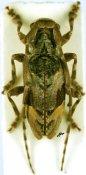 Idactus flavovittatus, ♀, Ancylonotini, Kenya