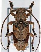 Falsidactus parabettoni, ♂, Ancylonotini, R. D. Congo