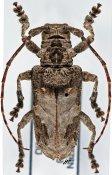 Idactus spinipennis, ♀, Ancylonotini, Djibouti