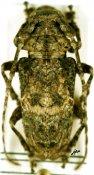 Idactus ellioti fasciculosus, ♀, Ancylonotini, Kenya