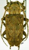 Idactus ♀, Ancylonotini, Kenya