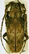 Idactus ellioti klingi, ♀, Ancylonotini, Ivory Coast