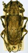 Idactus ellioti klingi, ♂, Ancylonotini, Togo