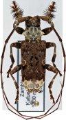Lasiopezus longimanus, ♂, Ancylonotini, Zambia